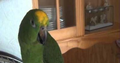 Papageien singen und tanzen Gangnam Style
