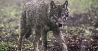 Rettung für einen Wolf