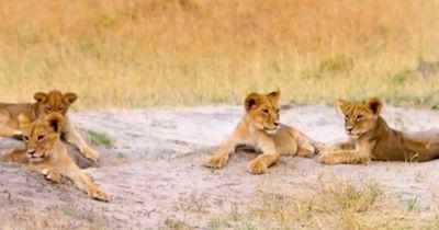 Muss Cecils Nachwuchs sterben? Ein feindlicher Löwe bedroht sein Rudel