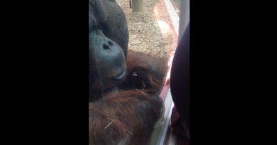 Als dieser Affe eine schwangere Frau sieht, passiert DAS