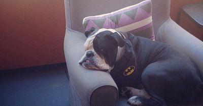7 brummige Bulldoggen, die keine Lust auf Montag haben!