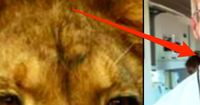 Dieser Zahnarzt zahlte 55.000 USD, um Afrikas bekanntesten Löwen zu töten!