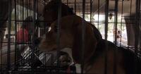 An diesem Tag konnten die Beagle endlich ins Freie gelassen werden