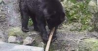 Dieser Bär hat ein ungeahntes Talent.