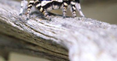 Spinnen können nicht niedlich sein?