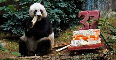 WELTREKORD: Panda-Dame Jia Jia feiert ihren 37. Geburtstag!