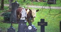 Diese Kuh steht auf dem Friedhof - das rettete ihr das Leben
