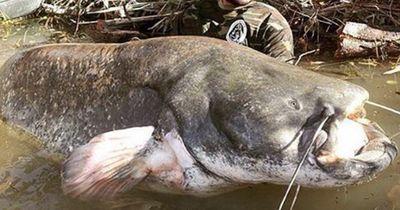Diese Riesenfische leben in jedem Baggersee