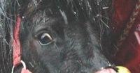 Der Schutzengel dieses Ponys hatte nur 45 Minuten Zeit