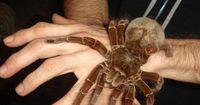 Die größten Spinnen der Welt und eine Hand