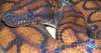 Die größte Schlange der Welt - länger als ein Schulbus