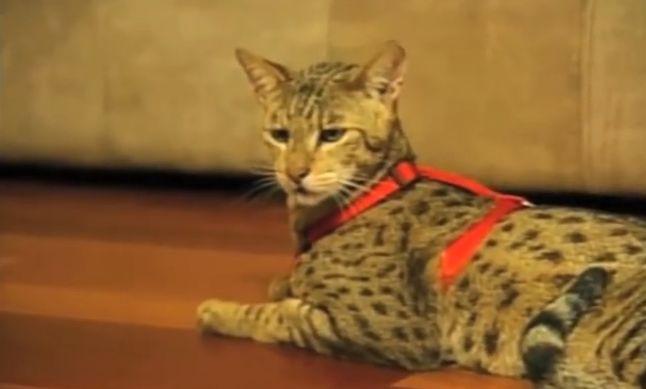die teuerste katze der welt
