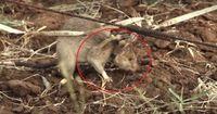 Von wegen eklig: Diese Ratten sind echte Helden!