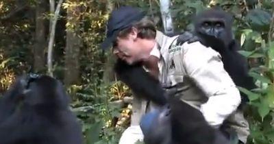 Mann trifft Gorilla wieder, den er gerettet hat!