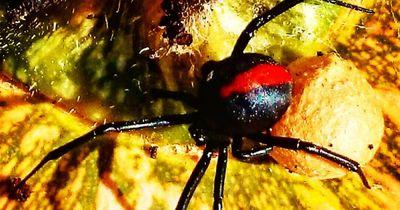 Die gefährlichste Spinne der Welt - sie nimmt es sogar mit Schlangen auf