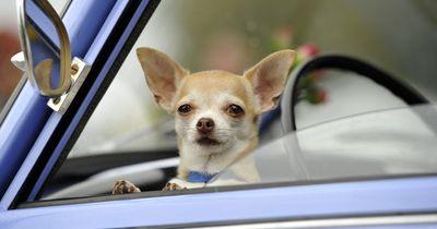 Regeln für den Hund im Auto