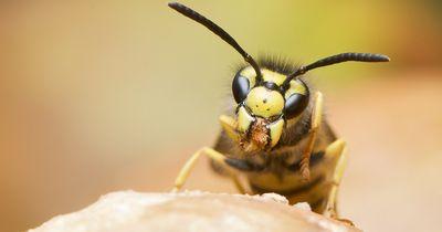 Die Wahrheit über Wespen