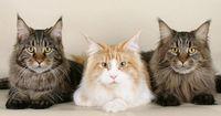 Diese Katzenrassen schmusen am liebsten