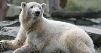 Nach 4 Jahren wurde das Rätsel gelöst: Darum musste Eisbär Knut wirklich sterben!