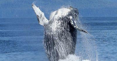 Wie lang können Wale wirklich die Luft anhalten?