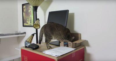 Um ihr Leckerli zu bekommen, muss diese Katze beweisen, was sie kann!