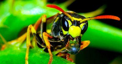 Unfassbar, was ein Stich dieser Wespe auslösen soll