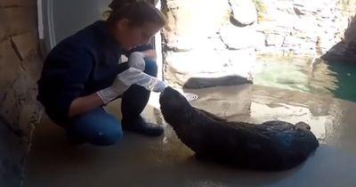 Ein Otter mit starken Atem-Problemen