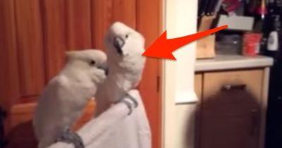 Er spielt einen Elvis-Song. Was sein Kakadu bei 0:26 macht, ist zum Schreien!