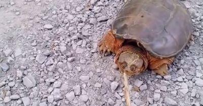 Er ärgerte eine Schildkröte und hat es sehr schmerzhaft bereut...