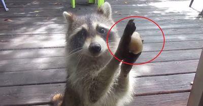 Schau es dir an: Dieser Waschbär scheint kurz vor dem Verhungern - kennt aber einen Weg!
