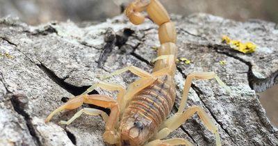 Der giftigste Skorpion der Welt