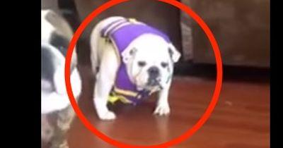 Bulldogge gegen Rettungsweste. Ab 00:09 Sekunde könnt ihr euch nicht mehr halten!