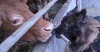 Er geht jeden Tag zu einer Kuh. Ihr müsst sehen, was dann passiert!