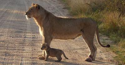 Ein wunderbarer Moment zwischen einer Löwenmama und ihrem Nachwuchs!