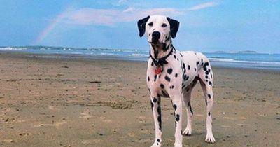 Dieser taube Dalmatiner sollte eingeschläfert werden und legte eine unglaubliche Wandlung hin!