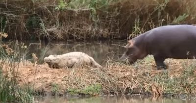 Dieser Baby-Hippo spielt am liebsten... mit KROKODILEN!