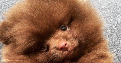 Diesen Pomeranians kann garantiert keiner widerstehen!