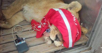 Dieser Zoo wurde vor 2 Jahren geschlossen - doch 5 Löwen wurden dort vergessen!