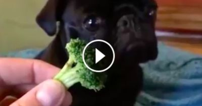 Was passiert, wenn du deinem Hund Brokkoli gibst?