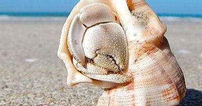 Als er auf die Muschel klopft, entdeckt er, das es etwas ganz anderes ist!