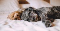 5 Gründe, warum es nicht immer gut ist, dass der Hund im Bett schläft