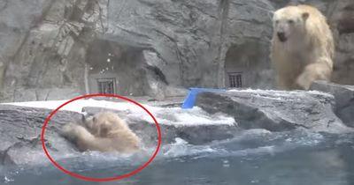 Das hätte auch anders enden können: Eisbären-Dame rettet Nachwuchs in letzter Sekunde!