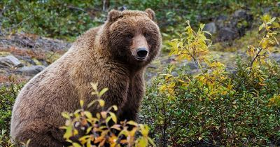 Hilfe! Was zur Hölle tut dieser Bär da?