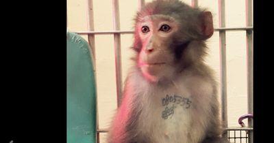 Nach jahrelangem Leiden findet dieser tätowierte Affe endlich Frieden