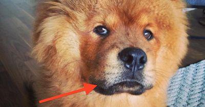 Der Hund mit der blauen Zunge
