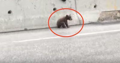 Dieses Bärenjunge sitzt hilflos auf der Autobahn