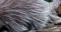 Der etwas andere Hund - nur hat dieser kein Fell, sondern Borsten und Stacheln!