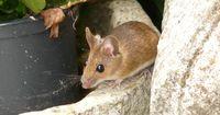 So wirst du Mäuse auf natürliche Art und Weise wieder los!