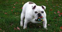 Wichtig: IQ-Training für deinen Hund!