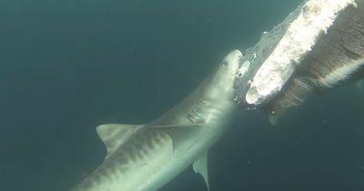 Diese Haie zerfleischen alles - und das dürfen sie auch!